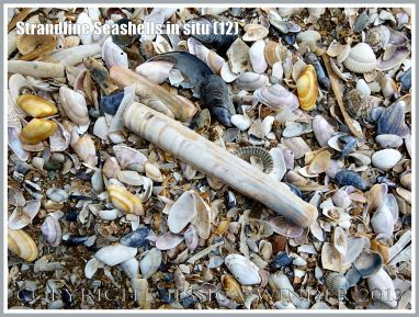Strandline Seashells in situ (12)