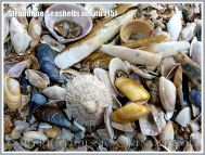 Strandline Seashells in situ (15)