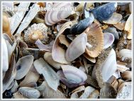 Strandline Seashells in situ (11)