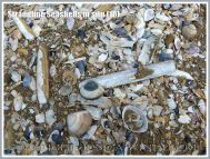 Strandline Seashells in situ (10)
