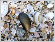 Strandline Seashells in situ (2)