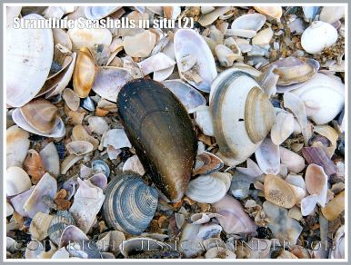 Common British seashells on the strandline