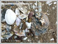 Strandline Seashells in situ (8)