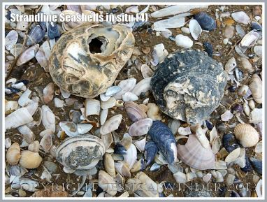 Strandline Seashells in situ (4)