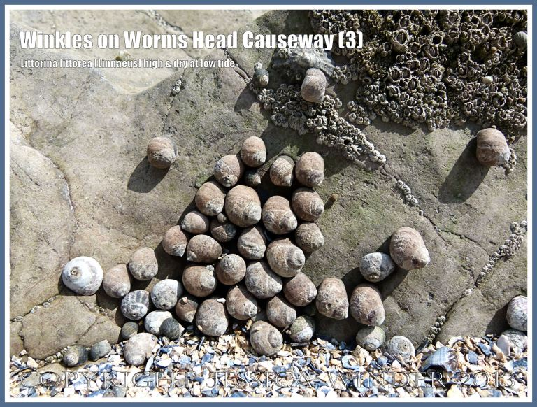 A cluster of thick-shelled winkles attached to dry rock awaiting the return of the sea.