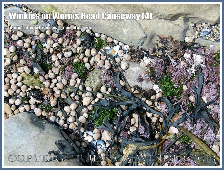 Unattached winkles lying in the sun at low tide