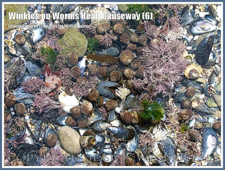 Living Common Winkles fortunate to have randomly landed in a shallow tide pool