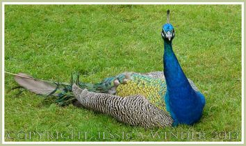 Picture of a peacock sitting on the grass