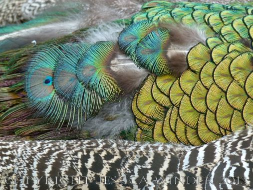 Natural feather and down patterns, colours, textures and shapes on a young peacock