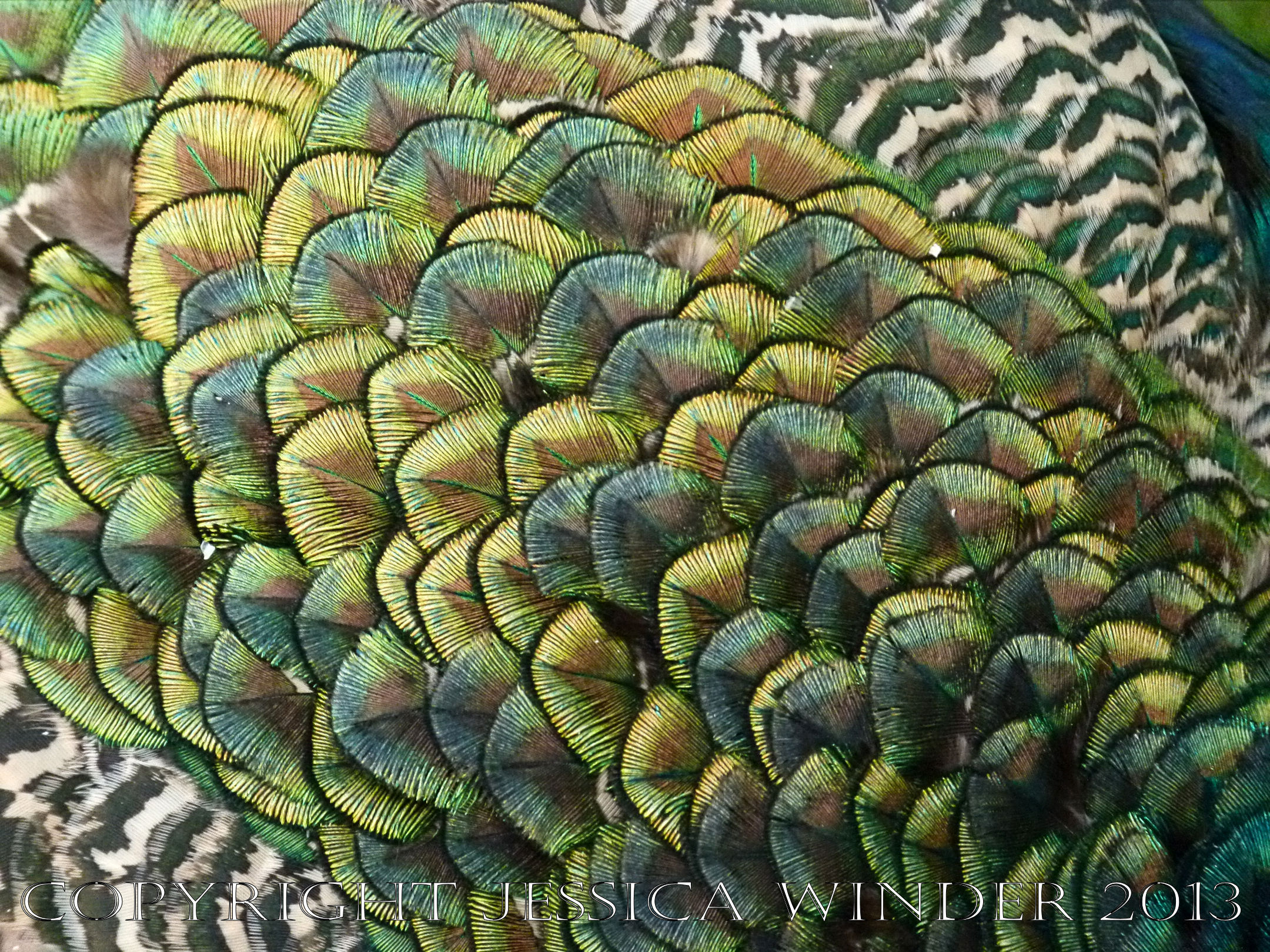 New Peacock Plumage - Jessica's Nature Blog
