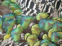 Natural feather patterns, colours, textures and shapes on a young peacock
