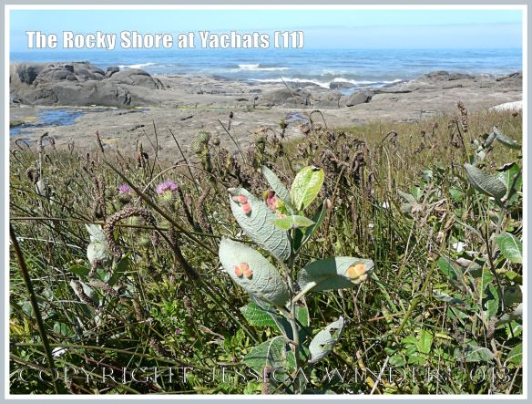 The sandy soils above the rocky shore support an abundance of flowering plants at Yachats.