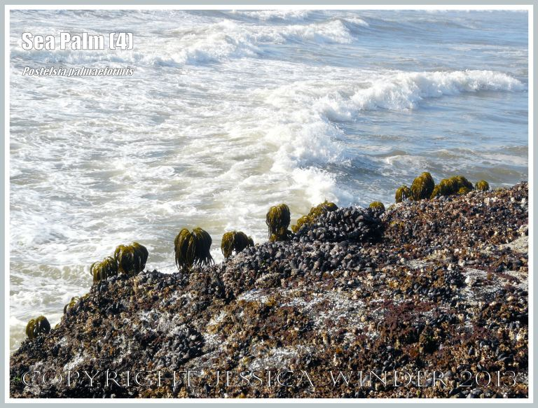 Row of Sea Palms on rocks at the edge of the Pacific Ocean in Northwest USA.