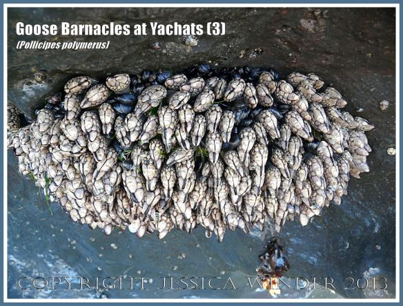 Pollicipes polymerus goose barnacles on the Oregon Coast