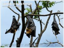 Fruit Bats or Flying Foxes roosting in trees