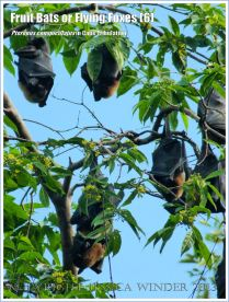 Fruit Bats, Spectacled Flying Foxes roosting in trees