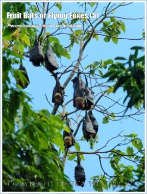 Fruit Bat, Spectacled Flying Foxes roosting in trees