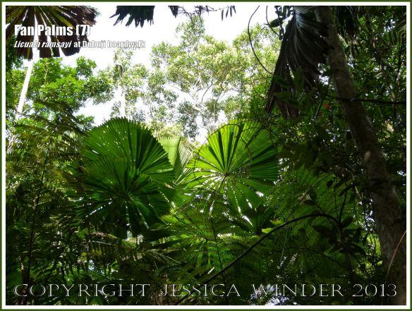 Fan palms licuala ramsayi in the australian daintree rainforest