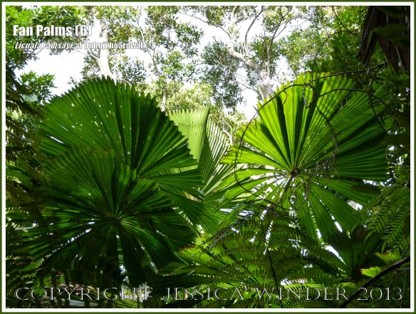 Fan Palms, Licuala ramsayi, in the Australian Daintree rainforest