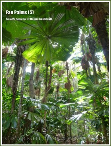Fan Palms, Licuala ramsayi, in the Australian Daintree rainforest