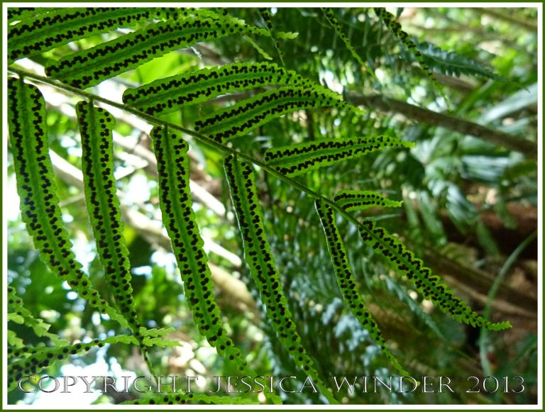 Fern leaves with a pattern of spore-producing bodies on the underside