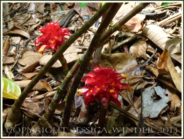 Exotic red ginger plant flowers