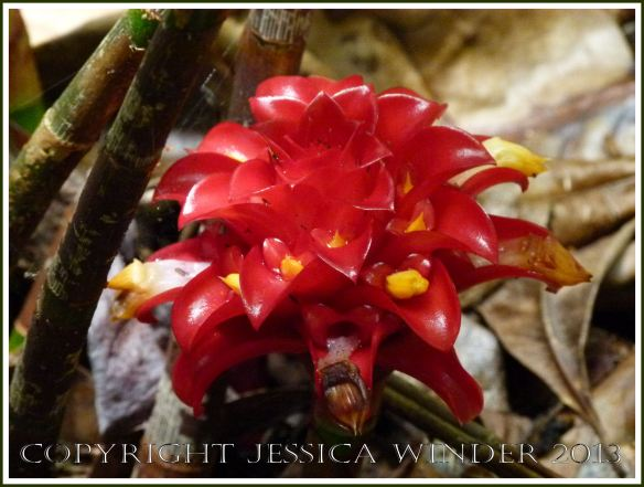Exotic red ginger plant flower