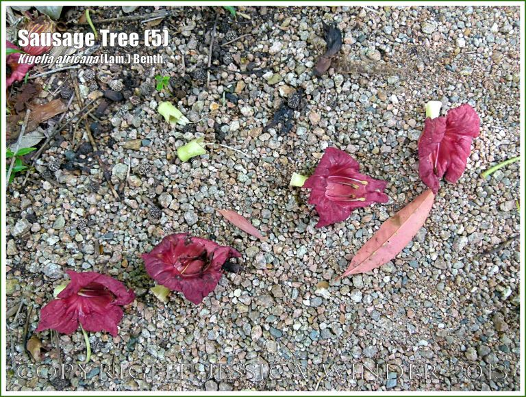 Fallen red blossoms of the Sausage Tree.