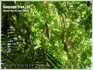 Sausage Tree, Kigelia africana, with fruits.