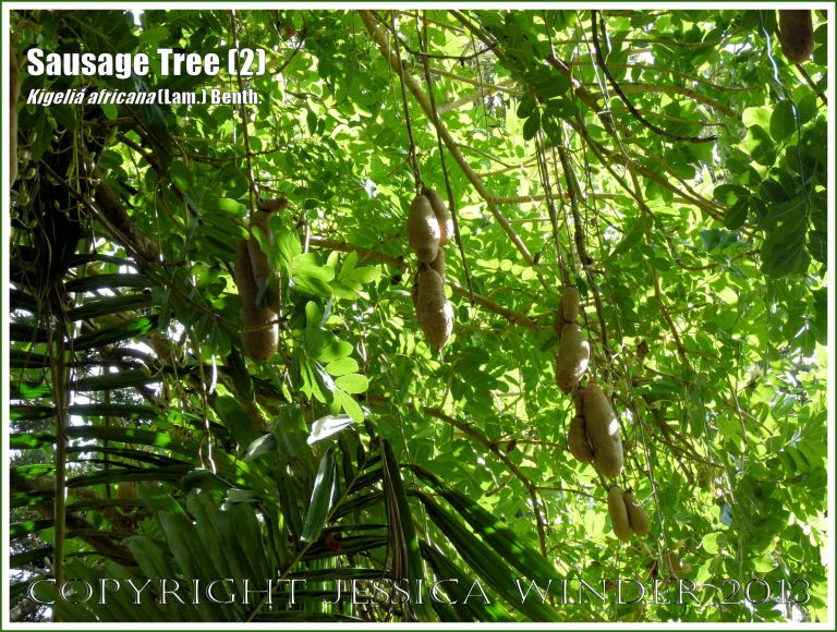 Sausage Tree, Kigelia africana, with fruits.
