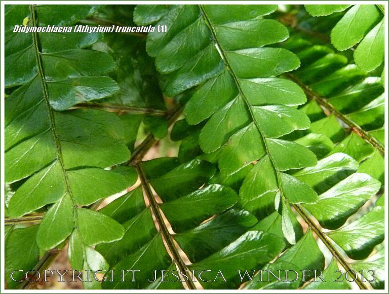 Tropical rainforest fern Didymochlaena (Athyrium) truncatula