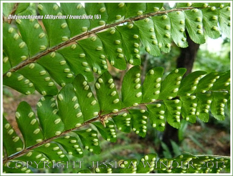 Tropical rainforest fern Didymochlaena (Athyrium) truncatula