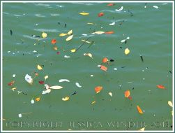 Yellow and orange coloured leaves floating on green water