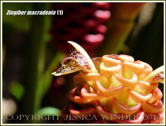 Flowering ginger plant, Zingiber macradenia.