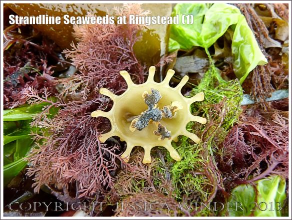 A fresh strandline assortment of seaweeds of different colours and textures.