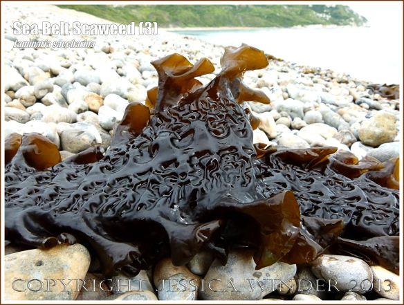 Sea Belt seaweed, Laminaria saccharina, washed up on a pebble beach