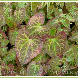 Variegated Leaves - a digitally altered photograph