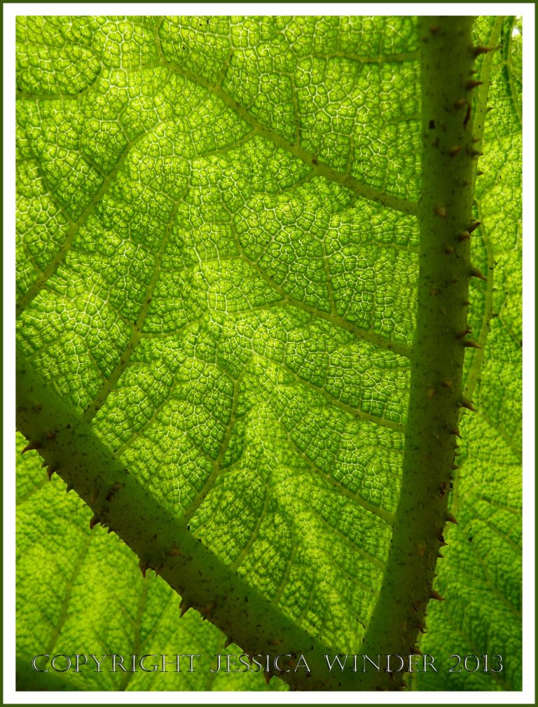 Leaf ribs and veins viewed from the underside of an unfolding Gunnera leaf