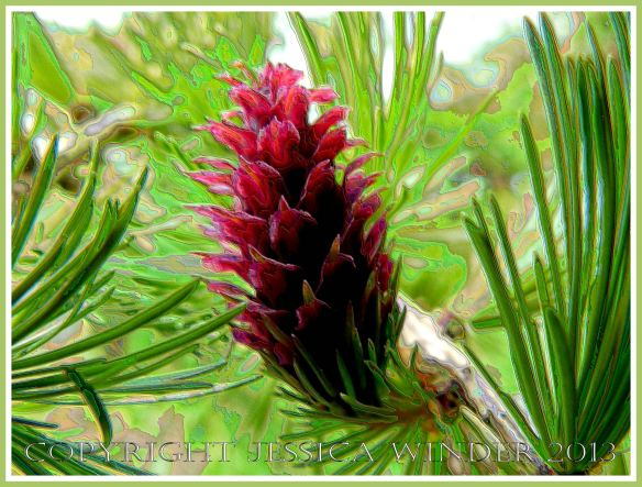 Larch Rose - digitally altered photograph