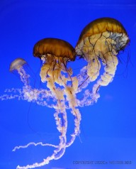 Pacific Sea Nettle jellyfish swimming in a tank