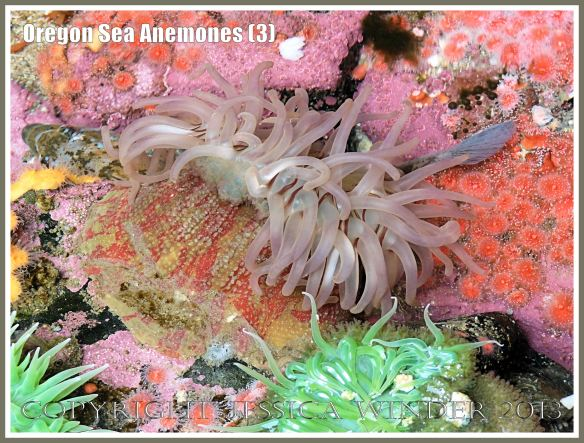 Sea anemone in the Touch Tank at Hatfield Marine Science Center, Oregon, USA.