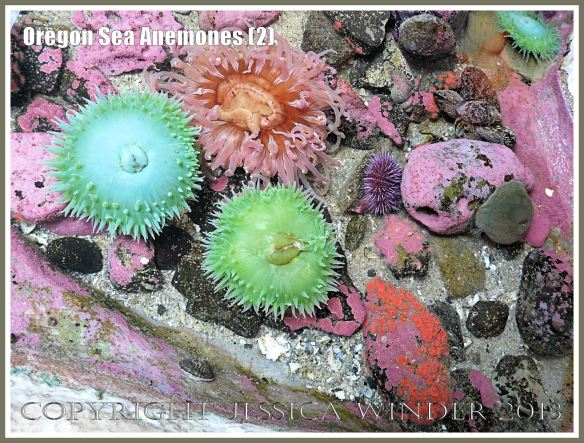 Sea anemones in the Touch Tank at Hatfield Marine Science Center, Oregon, USA.