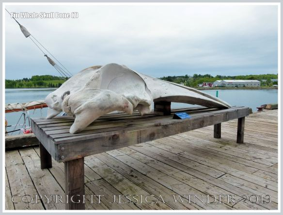 Fin Whale skull displayed at the Fisheries Museum of the Atlantic in Lunenberg, Nova Scotia.