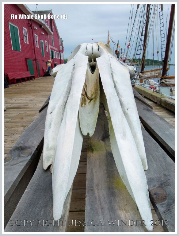 Fin Whale skull viewed from the front