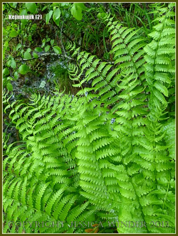 Ferns by the path at Kejimkujik National Park in Nova Scotia