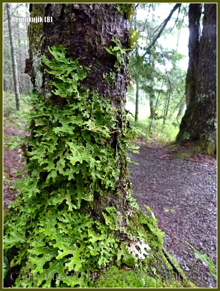 Leaf-like green lichens growing on a tree trunk in Kejimkujik National Park
