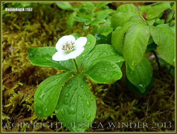 White flower with raindrops amongst the moss in Kejimkujik National Park