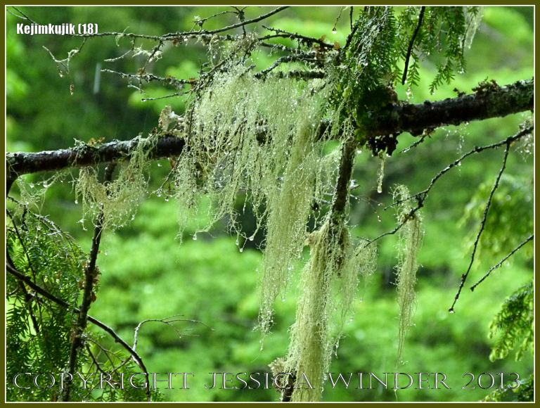 Rain-drop covered lichen trailing from a tree in Kejimkujik National Park, Nova Scotia, Canada.