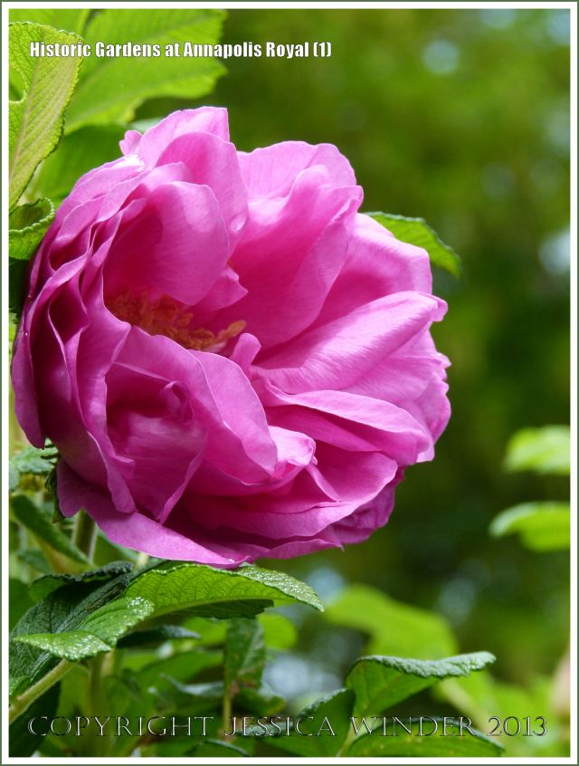 Pink rose at Historic Gardens in Annapolis Royal, Nova Scotia, Canada.