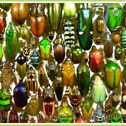 Multi-coloured jewel-like beetles of many species from around the world.